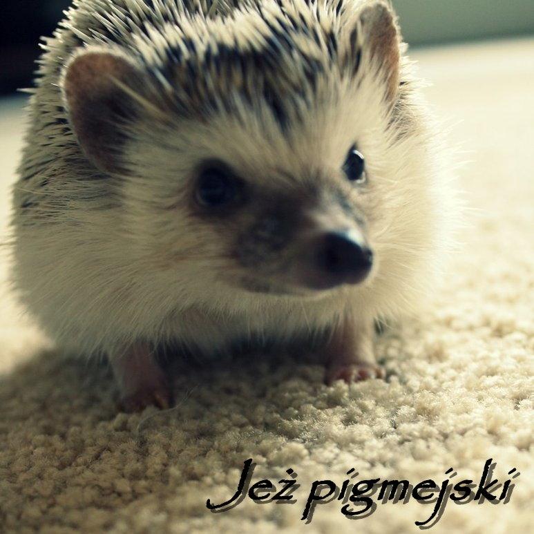 Jeż pigmejski ♥