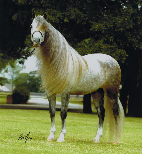 Koń czystej krwi hiszpanśkiej