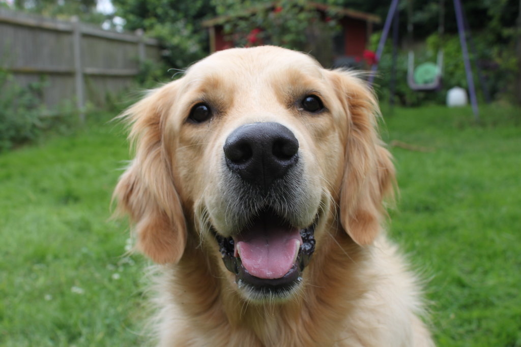 golden_retriever_by_gazgoyle-d574tq0.jpg