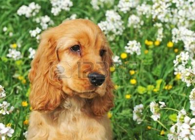 6786934-portret-puppy-cocker-spaniel-w-polu-z-kwiatami.jpg