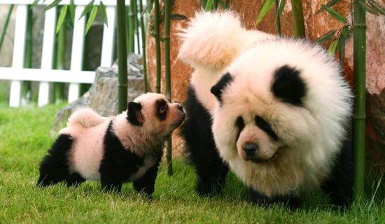 Modish Co ci się bardziej podoba: pies panda,tygrys czy zebra? - Zapytaj CN69