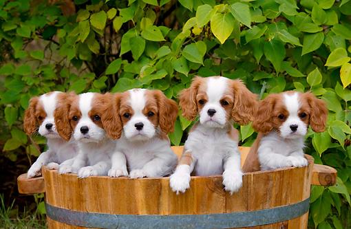Cavalier, Westie i Husky- przepiękne pieski