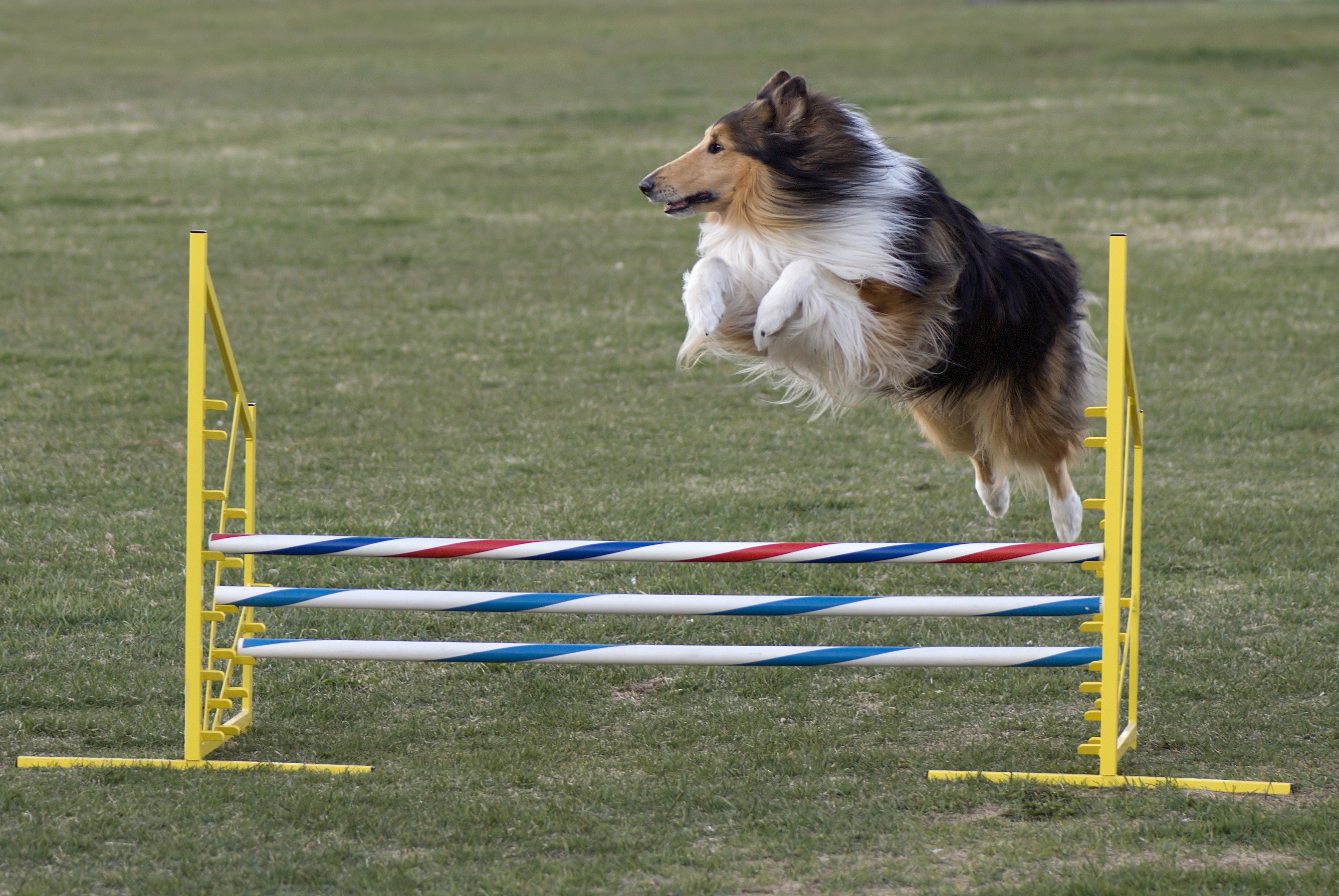 Rough_Collie_agility_jump.jpg