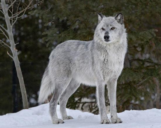 Bardzo dobry Gdzie moge kupić prawdziwego wilka i ile kosztuje - Zapytaj.onet.pl - BD31