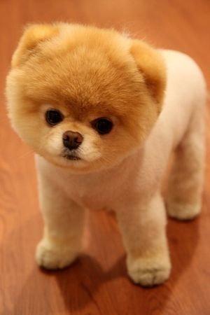 Nietypowy Okaz Czy tej rasy psy SZPICE MINIATUROWE (BOO) zawsze wyglądaj tak samo YG27