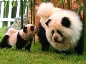 W superbly Co to jest pies czy panda? - Zapytaj.onet.pl - AN33