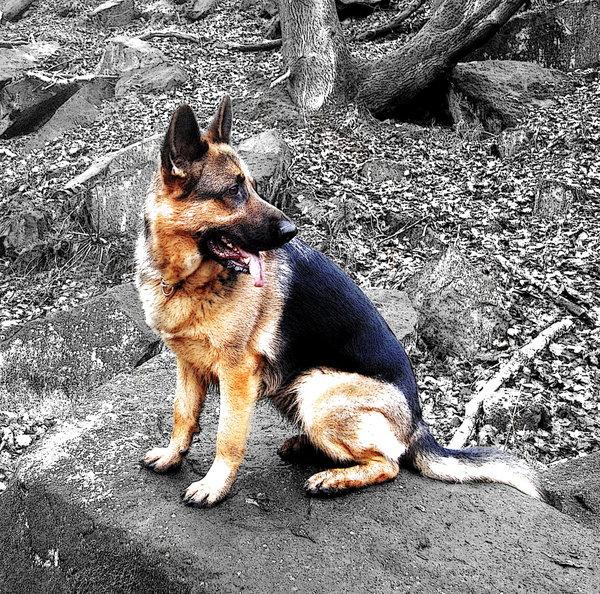 German_Shepherd_by_preppyboy94.jpg