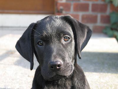 Labrador-Retriever-Puppies.jpg