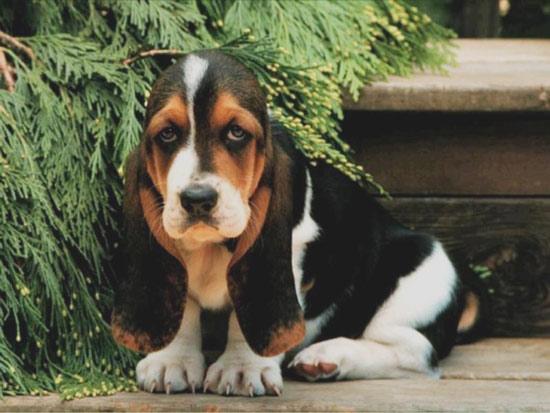 basset-hound-puppy5.jpg