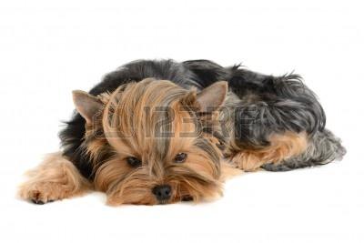 11087965-szczeniak-yorkshire-terrier-na-bialym-tle.jpg