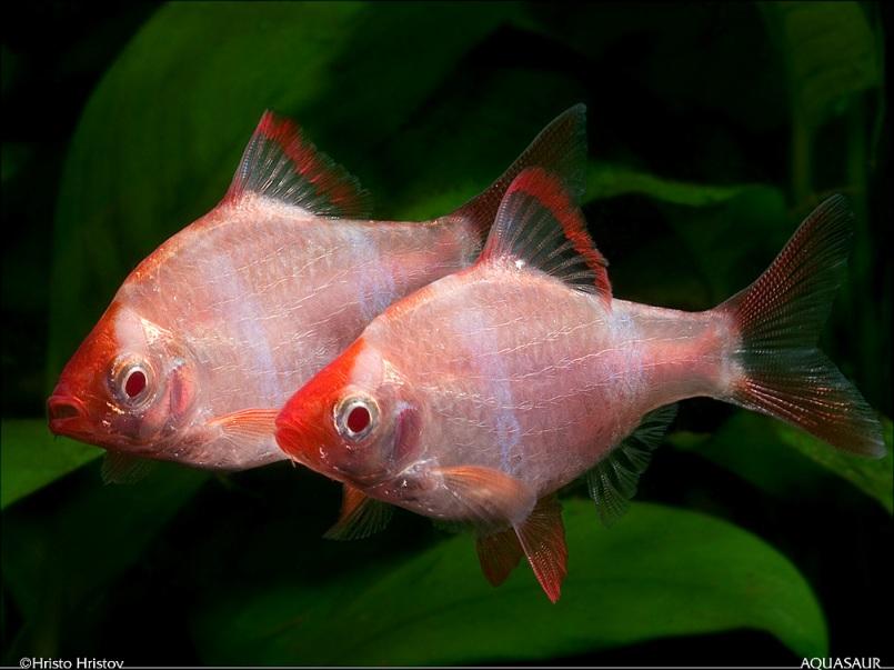 Puntius-tetrazona-albino-HH.jpg