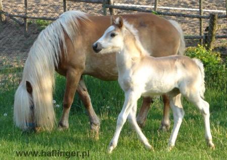Koń Haflinger