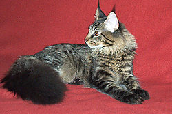 250px-Maine_Coon_cat-6_months_old.jpg