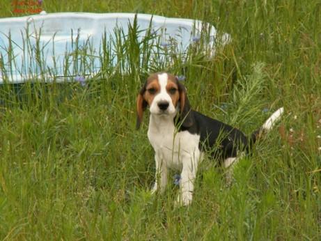 beagle-szczeniaki-3.jpg
