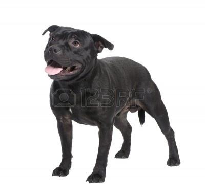 4341613-staffordshire-bull-terrier--przed-bialym-tle.jpg