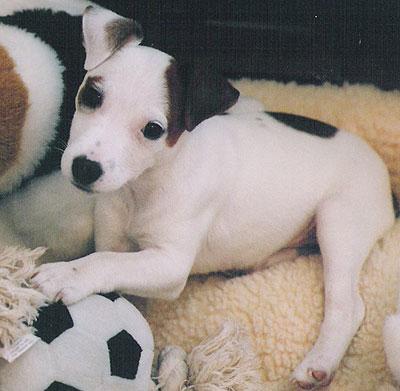 jack_russell_terrier_puppy_h04.jpg