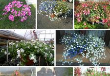 kwiaty rabatowe - Gospodarstwo Ogrodnicze L... zdjęcie 4