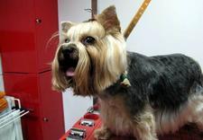 trymowanie psów - Salon dla Psów i Kotów Cz... zdjęcie 5