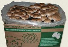 boczniaki - Planto. Uprawa grzybów zdjęcie 1
