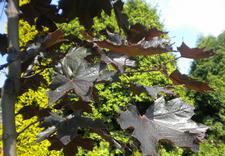 rośliny ozdobne śląskie - Szkółka Drzew i Krzewów O... zdjęcie 6