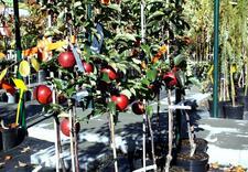 klony - Centrum Ogrodnicze BAOBAB... zdjęcie 3