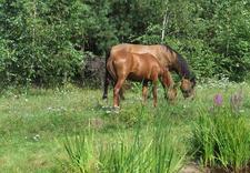 konie - Gospodarstwo Agroturystyc... zdjęcie 1