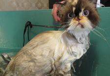 fryzjer dla psów i kotów - PSUBRATEK & SEJUTEK zdjęcie 14