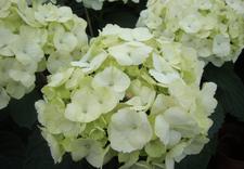 chryzantemy drobnokwiatowe - Gospodarstwo Ogrodnicze L... zdjęcie 8