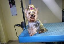 rozczesywanie skołtunionej sierści - Spa dla Psa - psi fryzjer... zdjęcie 11