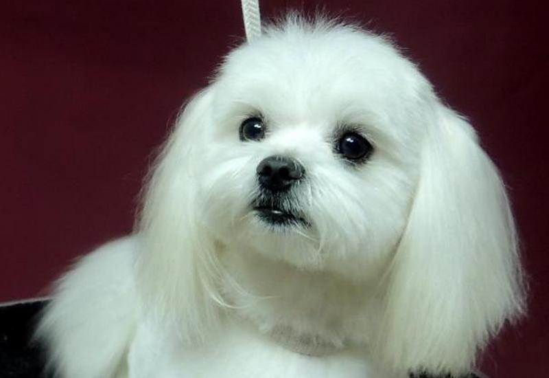 kosmetyka uszu - Salon Fryzjerski dla psów... zdjęcie 5