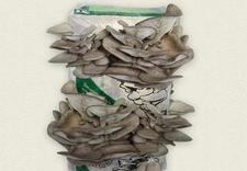 uprawa pieczarek - Planto. Uprawa grzybów zdjęcie 4