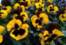 hortensje wcześniej pędzone - Gospodarstwo Ogrodnicze L... zdjęcie 1