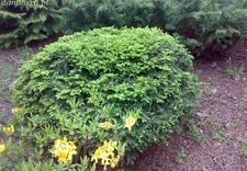 róże - Szkółka Roślin Ozdobnych ... zdjęcie 16