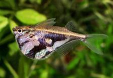 hodowla ryb akwariowych radomsko - Adamiak-Zoo Sklep zoo węd... zdjęcie 8