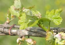 wina z rodzynek - Winnica Gennari. Wina wło... zdjęcie 8