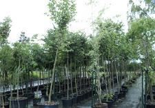 rośliny - Szkółka Roślin Ozdobnych ... zdjęcie 1