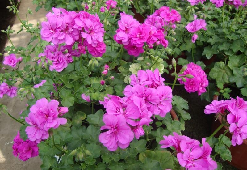 chryzantemy wielkokwiatowe - Gospodarstwo Ogrodnicze L... zdjęcie 7