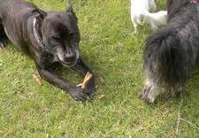 pielęgnacja uszu - Spa dla Psa - psi fryzjer... zdjęcie 10