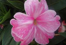 truskawki w amplach - Gospodarstwo Ogrodnicze L... zdjęcie 14