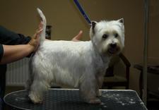 psi fryzjer kołobrzeg - Piękny Pies Salon Pielęgn... zdjęcie 2