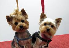 strzyżenie psów - Salon dla Psów i Kotów Cz... zdjęcie 3