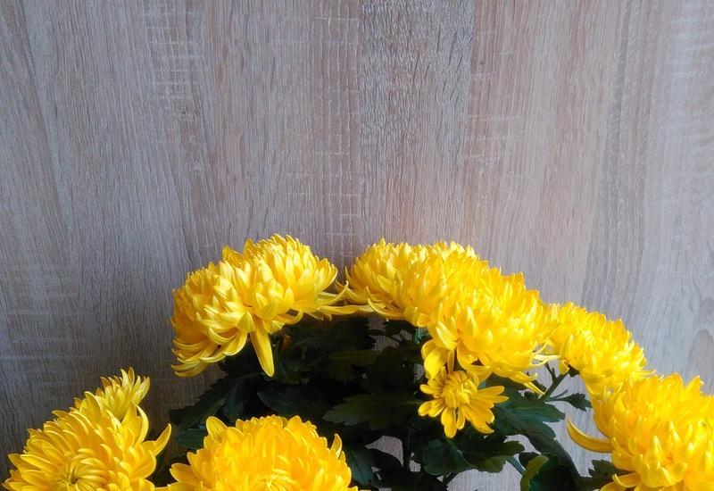 pelargonie bluszczolistne i rabatowe - Gospodarstwo Ogrodnicze L... zdjęcie 5