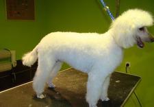 stylizacja psa - Almo Psi Fryzjer. Strzyże... zdjęcie 5