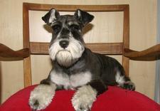 strzyżenie psów rasowych - Przychodnia weterynaryjna... zdjęcie 8