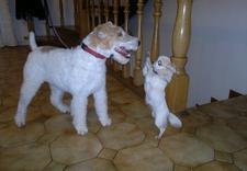 trymowanie - Spa dla Psa - psi fryzjer... zdjęcie 7