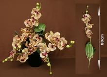 Storczyk brązowo-żółty 7-kwiatów